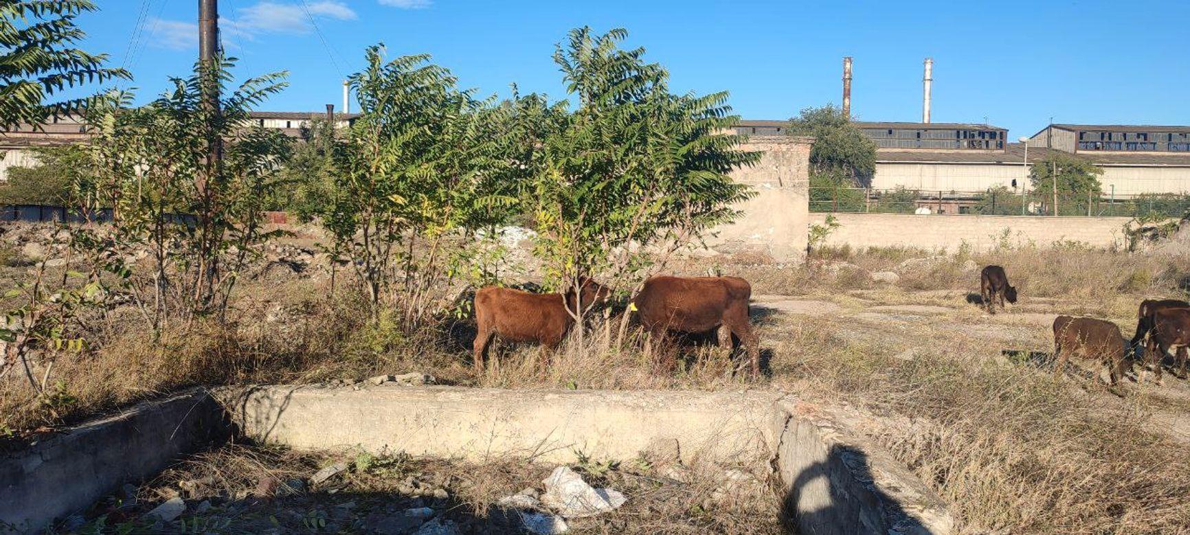 Коровы у ворот тюрьмы, где находится Саакашвили
