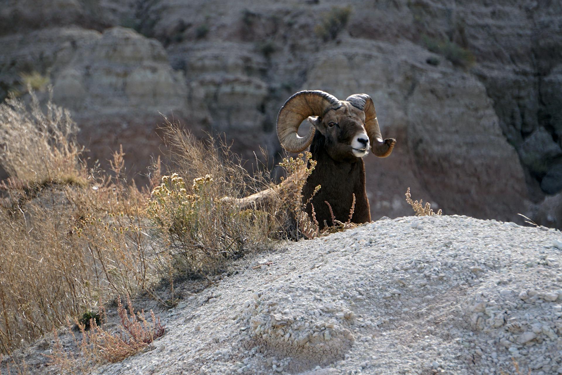На Алтае руководителя экологического фонда задержали во время охоты на краснокнижных баранов